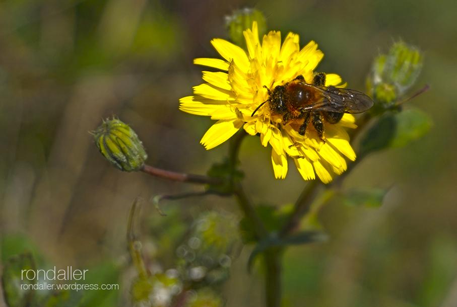 Insecte en una flor. Alt Empordà
